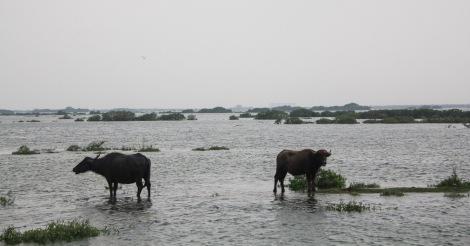 Jesus cows... (walking on water)