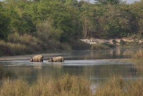 Two rhinos... one having a wee.