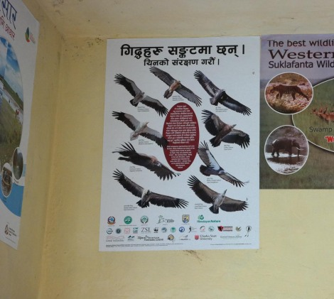 The vulture species found in Nepal.